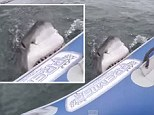 Terrifying: A great white shark was captured on film attacking a film crew as they stood powerless on a small rubber boat in the middle of the sea